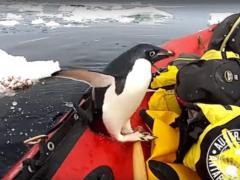 Ученый снял пингвина, который прыгнул к нему в лодку из воды