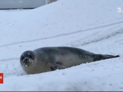 Тюлени спровоцировали хаос в Канаде