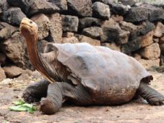 Самый известный самец гигантской черепахи вернется на родной остров спустя 80 лет