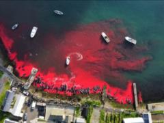 На Фарерских островах охотники загнали в бухту и убили 1428 дельфинов